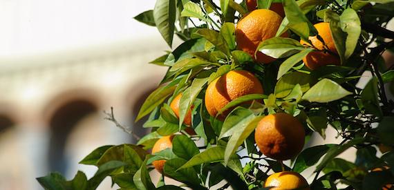 Citrus festival 2017 in France: Corsica